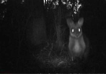 Bandicoot-Watch-wallaby