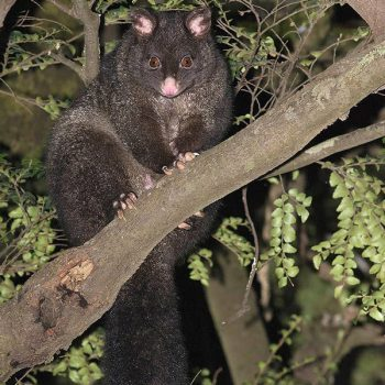 brushtail-possum-brushtail
