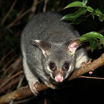 brushtail-possum-common