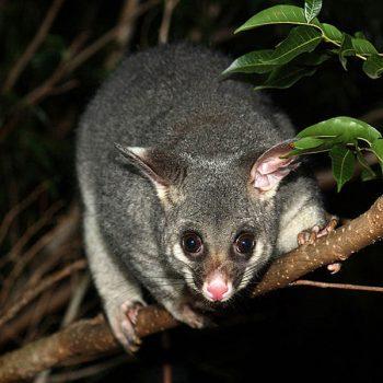 brushtail-possum-common