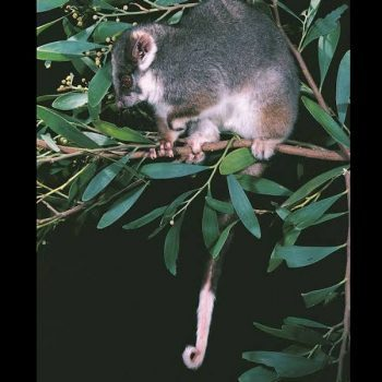 ringtail-possum2