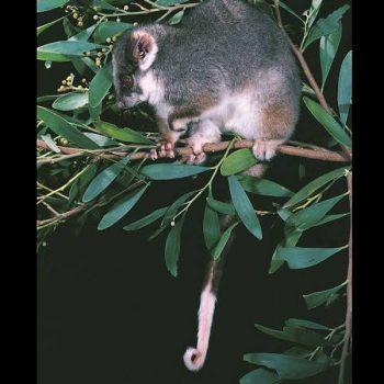 ringtail-possum2