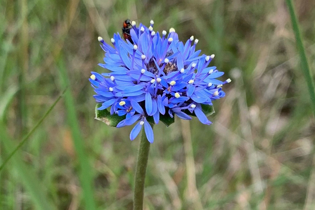 Brunonia-australis - Blue-Pincushion