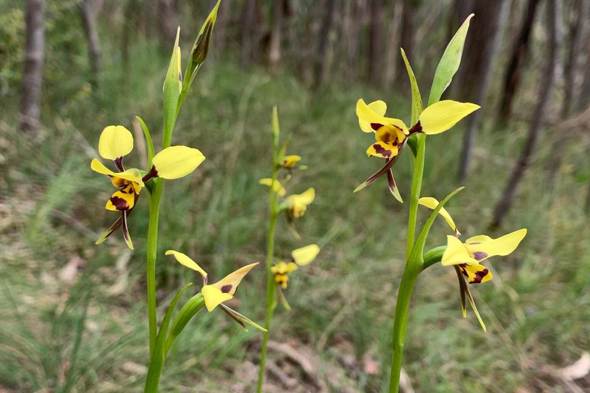 Diuris-suphurea - Tiger-Orchid - Hornet-Orchid