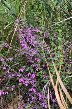 Pink-Bells, Black-eyed-Susan - Tetratheca-ciliata