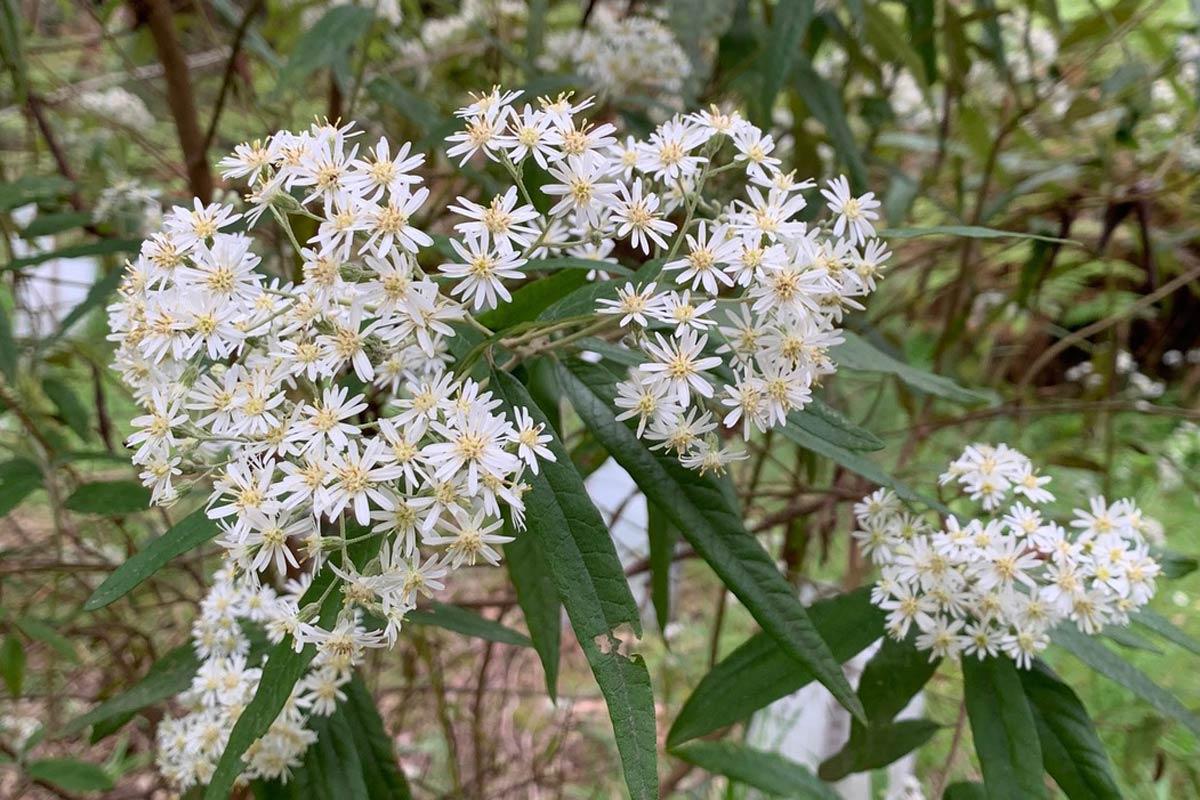 Snowy-Daisy-bush - Olearia-lirata