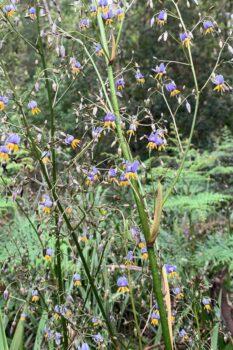 Tasman-Flax-Lilly - Dianella-tasmanica